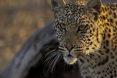 Savute, Botswana:  Mid shot of leopard looking off camera, sun in background.  (Photo credit: © Icon Films / Brad Bestelink)